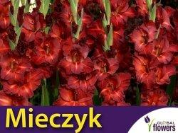 Mieczyk wielokwiatowy (Gladiolus) Chocolate  CEBULKA 5 szt.