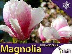 Magnolia Pośrednia 'Soulangeana (Magnolia Soulangeana) Duża sadzonka