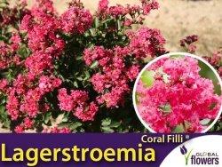 Lagerstroemia CORAL FILLI ® (Lagerstroemia indica) Sadzonka C1,5