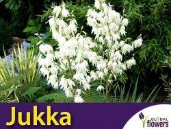 Jukka Karolińska (Yucca filamentosa) CEBULKA