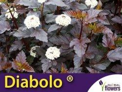 Pęcherznica czarna 'Diabolo ®' (Physocarpus opulifolius) Sadzonka