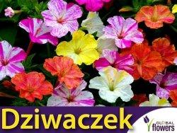 Dziwaczek (Mirabilis Jalapa) nasiona LUX 2g