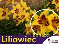 Liliowiec 'Bonanza' (Hemerocallis ) Sadzonka