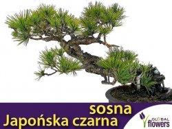 Japońska czarna sosna (Pinus thunbergii ) 0,1g
