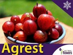 Agrest czerwony Hinnonmaki Rot (Ribes uva-crispa) Sadzonka