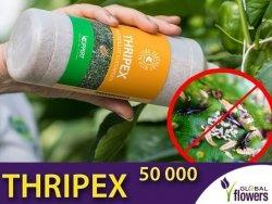 THRIPEX 50 000 dobroczynek wielożerny (do zwalczania wciornastków)