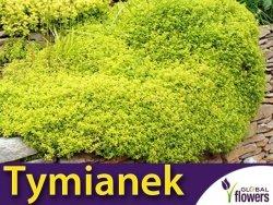 Tymianek właściwy 'Gold' (Thymus vulgaris) Sadzonka