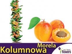 DRZEWKO OWOCOWE Morela kolumnowa Compacta  (Prunus armeniaca) Sadzonka C3,5
