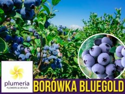 Borówka Amerykańska BLUEGOLD Sadzonka 2-letnia 30-50cm P9