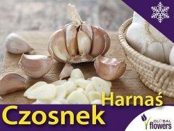 Czosnek zimowy polski Harnaś CEBULKI 250 g