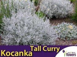 Kocanka włoska TALL CURRY (Helichrysum angustifolia) Sadzonka C1