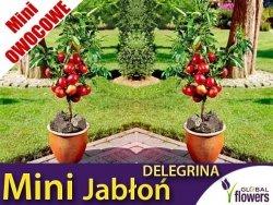 DRZEWKO MINI OWOCOWE Mini Jabłoń 'Delegrina' (Malus) Sadzonka
