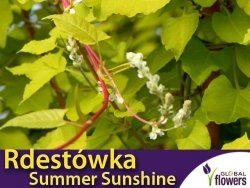 Rdestówka Bucharska SUMMER SUNSHINE 'Acofal' (Fallopia baldschuanica) Sadzonka 60-90cm