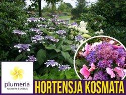 Hortensja kosmata  HOT CHOCOLATE (Hydrangea aspera) Sadzonka C1