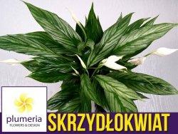 Skrzydłokwiat SILVER CUPIDO (Spathiphyllum Silver Cupido) Roślina domowa. Sadzonka P15 - L