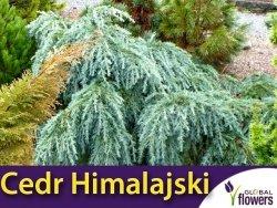 Cedr Himalajski (Cedrus deodara) Sadzonka