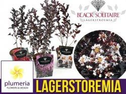 Lagerstroemia BLACK SOLITAIRE® Pure White (Lagerstroemia indica) Sadzonka C2