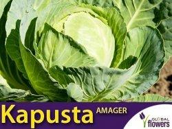 Kapusta Amager - (Brassica oleracea Convar. Capitata var. Alba) XL 100g