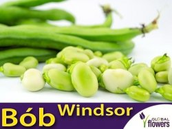 Bób Windsor Biały (Vicia faba) 50g