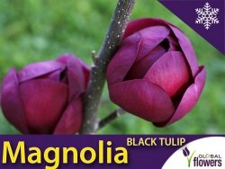 Magnolia Black Tulip® Sadzonka Rarytas dla kolekcjonerów
