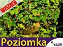 Poziomka wisząca Attila (Fragaria vesca) Sadzonka XXL w wiszącej doniczce 25cm