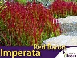 Imperata Red Baron Czerwona Trawa Sadzonka