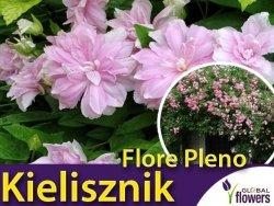 Kielisznik bluszczowaty 'Flore Pleno' (Calystegia hederacea) Kłącza