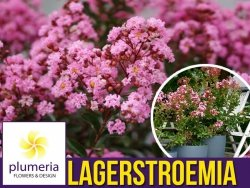 Lagerstroemia EVELINE kwitnie 120 dni (Lagerstroemia indica) Sadzonka C3
