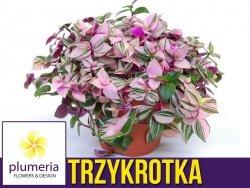 Trzykrotka TRICOLOR (Tradescantia fluminensis) Roślina domowa. Sadzonka P12 - M