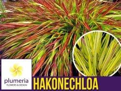 Hakonechloa macra MULLED WINE - Bambusowa trawa- Sadzonka
