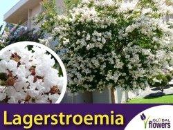 Lagerstroemia Nivea biała (Lagerstroemia indica) Krzew który kwitnie 120 dni Sadzonka