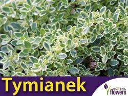 Tymianek cytrynowy srebrny SILVER QUEEN (Thymus citriodorus) Sadzonka P9