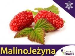 MalinoJeżyna 'Tayberry' (Rubus) doniczkowana Sadzonka