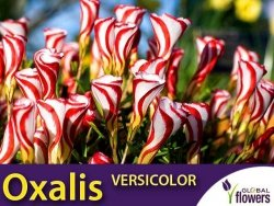 Szczawik OXALIS VERSICOLOR roślina jak lizak CEBULKI