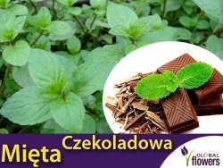 Mięta CZEKOLADOWA (Mentha x piperita Chocolate) Sadzonka C1