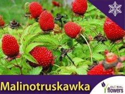 Malino-truskawka (Rubus illecebrosus) Sadzonka