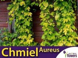 Chmiel pospolity 'Aureus' (Humulus lupulus) Sadzonka C2