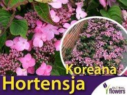 Hortensja piłkowana 'Koreana' (Hydrangea serrata) sadzonka C3