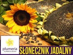 Słonecznik ogrodowy jadalny (Helianthus annuus) nasiona 10g