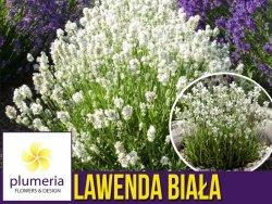 Lawenda BIAŁA (Lavandula angustifolia) Sadzonka P9
