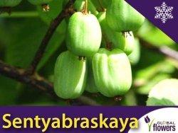 Aktinidia pstrolistna Sadzonka Kiwi Sentyabraskaya - odmiana żeńska