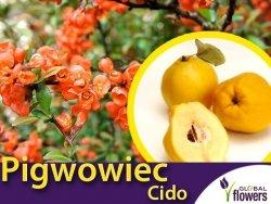 Pigwowiec Japoński 'Cido' (Chaenomeles japonica) Sadzonka