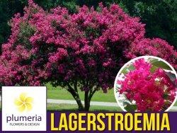 Lagerstroemia TURENNE kwitnie 120 dni (Lagerstroemia indica) 4 letnia Sadzonka XL-C5