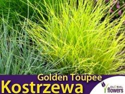 Kostrzewa złota GOLDEN TOUPEE (Festuca gluaca) Sadzonka