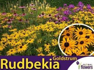 Rudbekia błyskotliwa GOLDSTRUM (Rudbeckia fulgida) Sadzonka C2