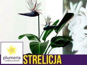 Strelicja biała NICOLAI (Strelitzia nicolai) Roślina domowa. Sadzonka P7 - S