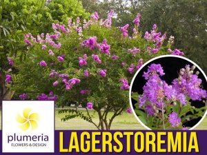 Lagerstroemia PETITE ORCHID kwitnie 120 dni (Lagerstroemia indica) Sadzonka C1