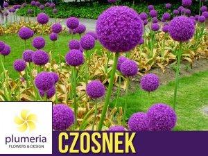 Czosnek GLADIATOR (Allium Giganteum) CEBULKA
