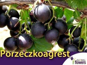 Porzeczkoagrest JOSTA (Ribes x Nidigrolaria) doniczkowana Sadzonka C1