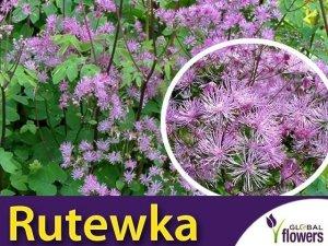 Rutewka 'Black Stockings' (Thalictrum ) Sadzonka